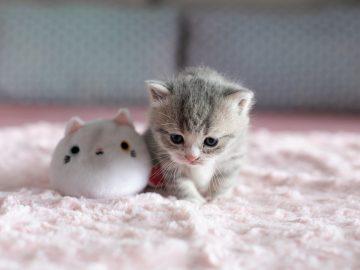 Petit chaton en pleine période de sevrage qui joue avec une peluche