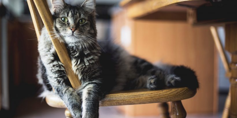 Chat gris aux yeux verts affalé sur une chaise en bois